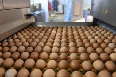 Uova, anche in Italia trovati campioni contaminati dal Fipronil